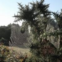 Spider's knots?