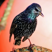 Mudeford Starling