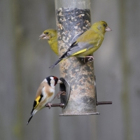 Greenfinches and goldfinch