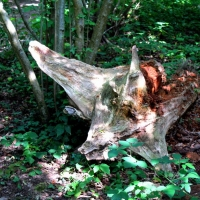 Hog - dead wood