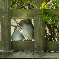 Sparrow's Breakfast